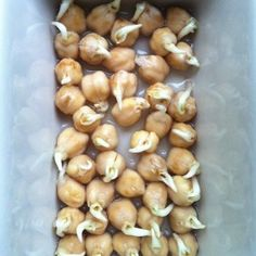 How to Sprout Garbanzo Beans (aka Chick Peas) for Planting or for Cooking