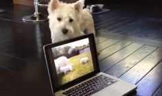 This dog can't seem to figure out how to get to the puppies on the screen