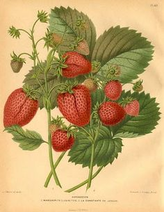 Strawberries. Maybe in Kitchen?! LM