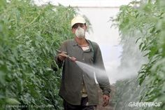 #NEWS #SWD #GREEN2STAY Pesticide Use in Spain. A worker without protective clothing only wearing a paper breathing protection sprays pesticides on vegetables in a greenhouse. 10/14/2005 © Greenpeace / Ángel Garcia