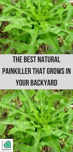 Looking for the way to relieve your pain naturally? This is the one of the best herb for relieving pain naturally.