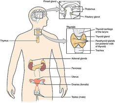 What is Endocrine System? Definition of Endocrine System: The endocrine system is a system of glands that produce chemical messages called hormones which have Pituitary Gland, Adrenal Glands, Thyroid Gland, Thyroid Disease, Endocrine Hormones, Pineal Gland, Thyroid Health, Neuron Structure And Function, Nervous System Diagram
