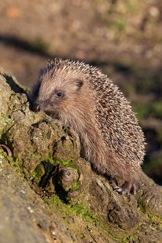 Hedgehog | Flickr - Photo Sharing!