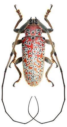 (Peritrox marcelae) Longicorn beetle Brazil - Animals World Beetle Insect, Beetle Bug, Insect Art, Rhino Beetle, Cool Insects, Bugs And Insects, Cool Bugs, Carapace, Bug Art