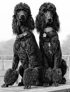 Black standard poodles.