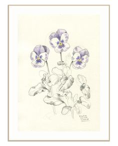 Pansies PRINT - pansy flowers pencil drawing - delicate pencil and watercolor drawing of pansies - floral print wall art by Catalina by CATILUSTRE on Etsy