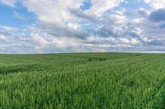 Green wheat by Hiroteru Hirayama on 500px