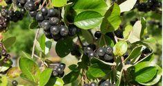 marja-aronia - Aronia Prunifolia- ryhmä
