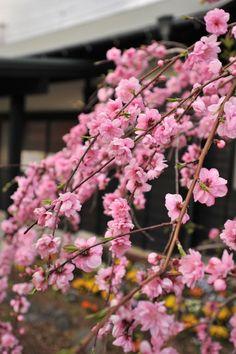 Photos of the Hanami in Izu