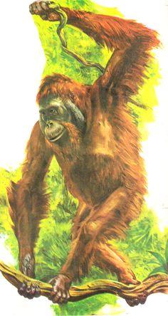Enciclopédia Os Bichos - Editora Abril Cultural (1970) - Orangotango.