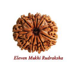 Rudraksha Eleven Faces.