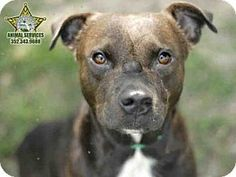RIP, Spartan. I'm sorry nobody came to get you :( 1/3 SUPER URGENT! 12/13 SPARTAN is an American Pit Bull Terrier Mix for adoption in Tavares, FL who needs a loving home. (((Tavares is a SNOW BIRD AREA, so many of these wonderful pets won't get adopted. If you know of rescue groups that can transport these lovable animals to other cities where they have a greater chance at being adopted, please spread the word. Thx!)))