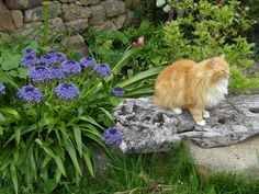 LE PRINTEMPS EST DANS MON JARDIN...  Les jolies fleurs des scilles du Pérou s'épanouissent dans le jardin situé à l'arrière de la maison d'hôtes, #leclosdumenallen. Zasa le chat de la maison fait la pause ! http://leclosdumenallen.com