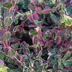 Euonymus fortunei 'Emerald Gaiety' - winter colour evergreen side hedge