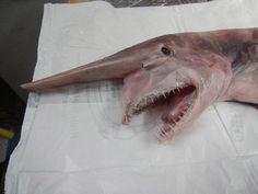 Freaky Deaky Goblin Shark