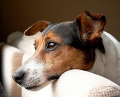 Toby Wan Kanobi  . . .A very handsome JRT