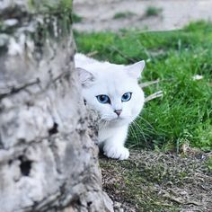 Tips And Tricks For Caring For Cats. Kittens Cutest, Cats And Kittens, Good Night Cat, Burmilla Cat, Cat Work, Cat With Blue Eyes, Cat People, White Cats, Love Pet