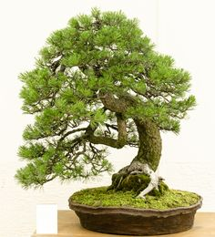 How For Making Your Landscape Search Excellent Pinus Mugo - Berg-Kiefer Als Bonsai Ikebana, Japanese Garden Plants, Micro Garden, Landscape Model, Mini Plants, Bonsai Garden, Small Trees, Houseplants, Flower Arrangements