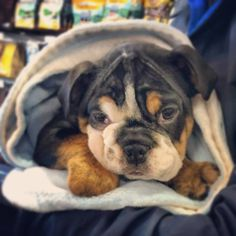 Puppy love!! How sweet is this English Bulldog, pictured here shopping at the Global Pet Foods store in Stellarton, Nova Scotia?! #beautiful #adorable #sweetface #kisskiss #puppy #puppylove #love #petlove #globalpetfoods #canada
