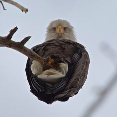 An Eagle From Below.