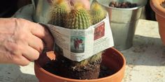 Les bons gestes pour rempoter ses cactus. Conseils et astuces en vidéo par Hubert le jardinier pour Rustica.