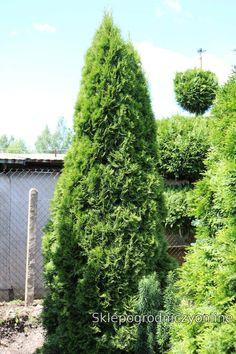 #thujaoccidentalis#smaragd#landscape#architecture#design#tree#garden#gardening#zywotnik