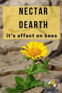 A shortage of nectar availability is called a nectar dearth. It can have disastrous effects on a honey bee colony. Learn how to recognize a dearth and what to do. Honey Bee Hives, Honey Bees, How To Start Beekeeping, Bee Facts, Benefits Of Gardening, Small Backyard Gardens, Small Backyards, Bee House, Backyard Beekeeping