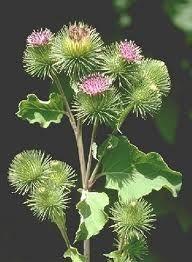 Κολλιτσίδα ένα ισχυρότατο αντικαρκινικό, διουρητικό και αποτοξινωτικό βότανο! - newsitamea - newsitamea