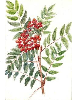 F. Hannen (active 1890-1910). Study of the Rowan Tree or Mountain Ash   eBay