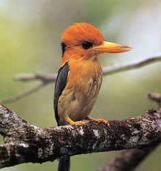 Kleine geelsnavelijsvogel - Yellow-billed Kingfisher (Syma torotoro) in New Guinea and Australia by David Hollands.