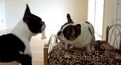 Smart Dogs Negociating! :) - Boston Terrier VS French Bulldog ► www.bterrier.com/?p=1016