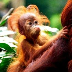 Very Hairy Baby Orangutan in his Mother's arms