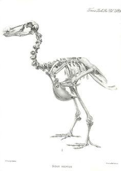 Bird Bones, Skull And Bones, Skeleton Drawings, Flightless Bird, Animal Anatomy, Zoology, Science And Nature, Animal Crossing, Birds