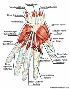 Flexor Tendon Recovery | LEARN THE ANATOMY