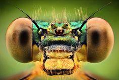 Calopteryx splendens by Dusan Beno
