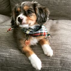 The Australian Shepherd and Cavalier King Charles Mix: A Complete Guide Dogs doggy Dogs Tumblr, Spaniel Puppies, Mastiff Puppies, Dogs Pitbull, Cocker Spaniel, Cute Dogs And Puppies, Doggies, Aussie Puppies, Cute Pets