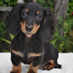 black and tan long haired dachshund Dachshund Breed, Dachshund Funny, Long Haired Dachshund, Dachshund Love, Black And Tan Dachshund, Dapple Dachshund, Daschund, Cute Puppies, Cute Dogs
