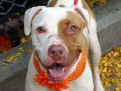 "TO BE DESTROYED 10/27/13 Manhattan Center-P~MAUI~ID # is A0952205. Spayed female wht & tan am pit bull ter mix.1 YR 10 MTHS old. STRAY 10/5/13. She is pleasant, lively and loving. Very friendly, social, playful dog. Comes when called, sits on command. Maui did have guarding issues w/ food/bone/toy items -common w/ strays (retrainable). Relaxed while meeting helper. Maui needs a home that can teach her positive ""doggy manners"" & give her the loving forever home she deserves!"
