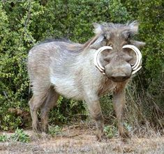 Not the prettiest of animals is the warthog