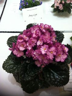 Amy Lyn Perennial Flowering Plants, Herbaceous Perennials, Saintpaulia, Sweet Violets, African Violet, Live Plants, Cacti, Houseplants, Indoor Plants