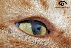 Cat Pedicle Flap Eye