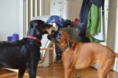 Boxer and Beauceron Baron, Boxer, Dogs, Pet Dogs, Doggies, Boxer Pants