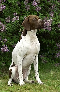 english pointer dog photo | dog breed catalog pointing dogs english pointer classification code 7 ...