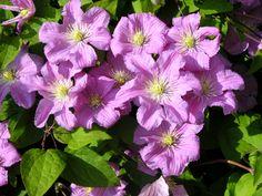 17 best 5416 images climbing flowering vines flowering vines