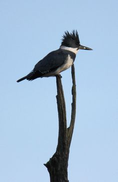 Belted kingfisher near the Ohio & Erie Canal Towpath Trail (photo by volunteer Jeff Hill)