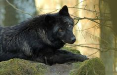 Gray Wolf--Petra Schmidt Shared Wildlife Nature Photo