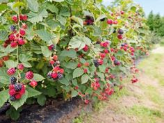 Learn how to grow a berry garden in your backyard this year. Strawberries, blueberries, blackberries and raspberries are easy to grow and delicious. Growing Blackberries, How To Freeze Blackberries, Raspberries, Blackberry Bramble, All Berries, Gardening Zones, Strawberry Plants, Hardy Perennials, Organic Fertilizer