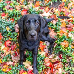 Fall Leaves and Puppy Eyes