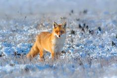 Animals And Pets, Cute Animals, Red Fox, Twitter, Animals Beautiful, Cool Photos, Wildlife, Funny, Lisy