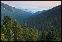 Redwood Mountain Grove, largest sequoia grove. Kings Canyon National Park ( color)
